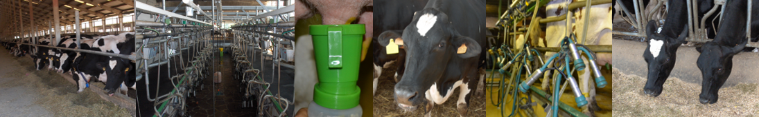 Dairy cows milking and feeding, teats dipping